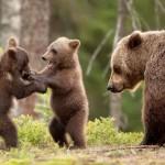 Como se llama la cría del oso
