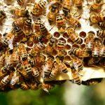 Como se llama la crianza de abejas